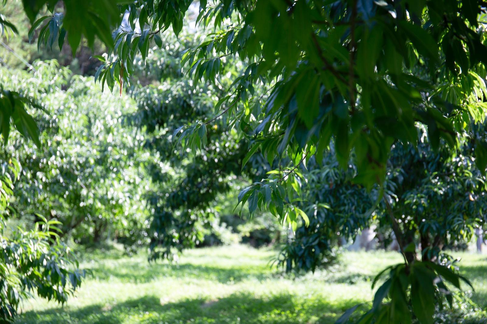 自然の力を活かした桃の農家さん